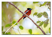 Male of the Malagasy Paradise-Flycatcher from Andasibe, eastern Madagascar. Nikon D5, 300mm f2.8 + TC1.4 @ f4.5, EV+1, 1/500sec, ISO1400, SB900 fill-in flash, manual