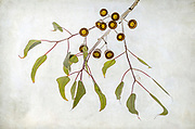"""The Eucalyptus caesia or Silver Princess is a small gum tree indigenous to the wheatbelt of Western Australia. The """"silver"""" refers to the white powder that covers the branches, flower buds and fruit.  Flowers range in colour from pink to red and are<br /> followed by large, urn-shaped """"gumnuts""""."""