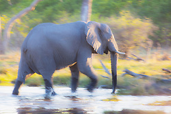 A motion-blur image of an african elephant ( Loxodonta africana ) walking through the water, vertical, Okavango Delta, Botswana, Africa
