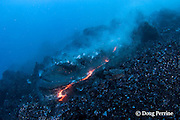 "pillow lava erupts from an underwater lava tub at ocean entry of Kilauea Volcano, Hawaii Island ("" the Big Island ""), <br /> Hawaii, U.S.A. ( Central Pacific Ocean )"