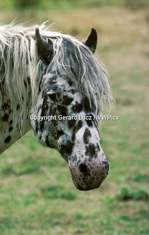 Knabstrup Horse, Portrait