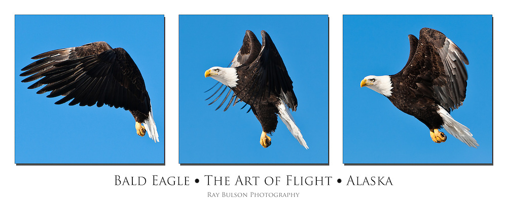 Bald Eagle (Haliaeetus leucocephalus) flying in search of food in Eagle River in Southcentral Alaska.  Winter. Morning. Triptych.