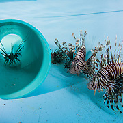 Lionfish are held in a container while scientists from the Cape Eleuthera Institute study their behaviour with the hopes of helping native species survive the onslaught.