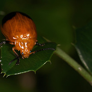 Chrysomelidae sp. Leaf Beetle in Uthai Thani Province, Thailand.
