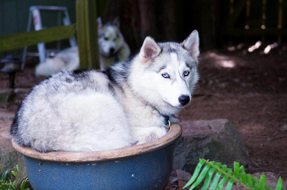 Siberian Husky in a Plant Pot