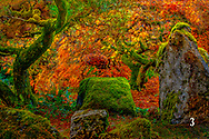 Japanese Maple in fall with stones