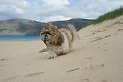 Bessi the Shih-tzu dog in the sand.