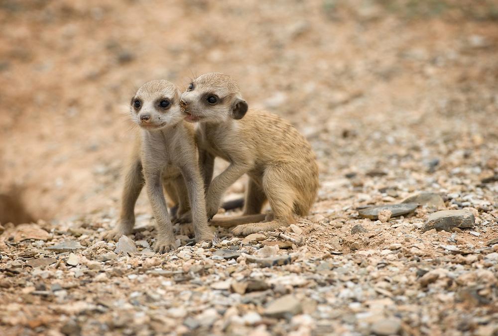 Africa, Namibia, Keetmanshoop, Meerkat Pup (Suricate suricatta) bites another's ear while sitting outside burrow in Namib Desert