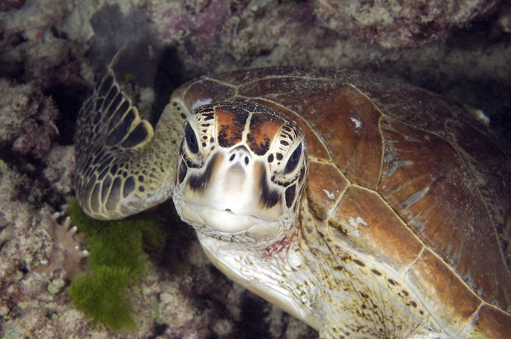 Green turtle (Chelonia mydas). Location : Great Barrier Reef, Australia