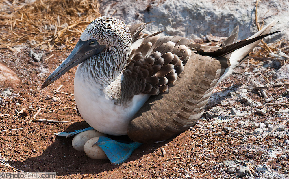 """A Blue-footed Booby (Sula nebouxii) parent nests two eggs on North Seymour Island, part of the Galápagos archipelago, a province of Ecuador 972 km offshore west of the continent of South America. The Sulidae family comprises ten species of long-winged seabirds. The name """"booby"""" comes from the Spanish term bobo, which means """"stupid"""" or """"fool/clown,"""" which describes its clumsy nature on land. Like other seabirds, they can be very tame. Blue-footed Boobies breed in tropical and subtropical islands of the Pacific Ocean."""