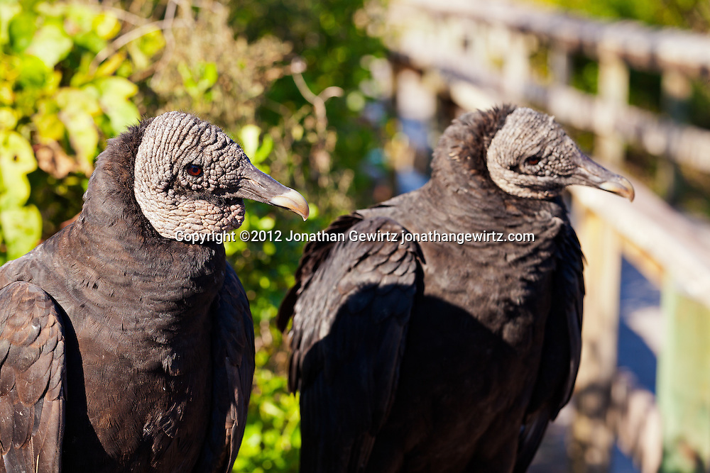 A pair of Black Vultures (Coragyps atratus) in Everglades National Park, Florida. WATERMARKS WILL NOT APPEAR ON PRINTS OR LICENSED IMAGES.