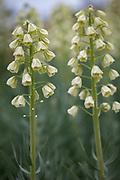 Fritillaria persica 'Ivory Bells' - Persian lily