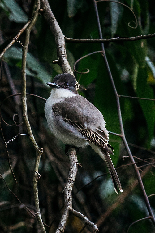 A loggerhead kingbird perched on a branch near Taco Bay, Eastern Cuba on Jan 26, 2016.