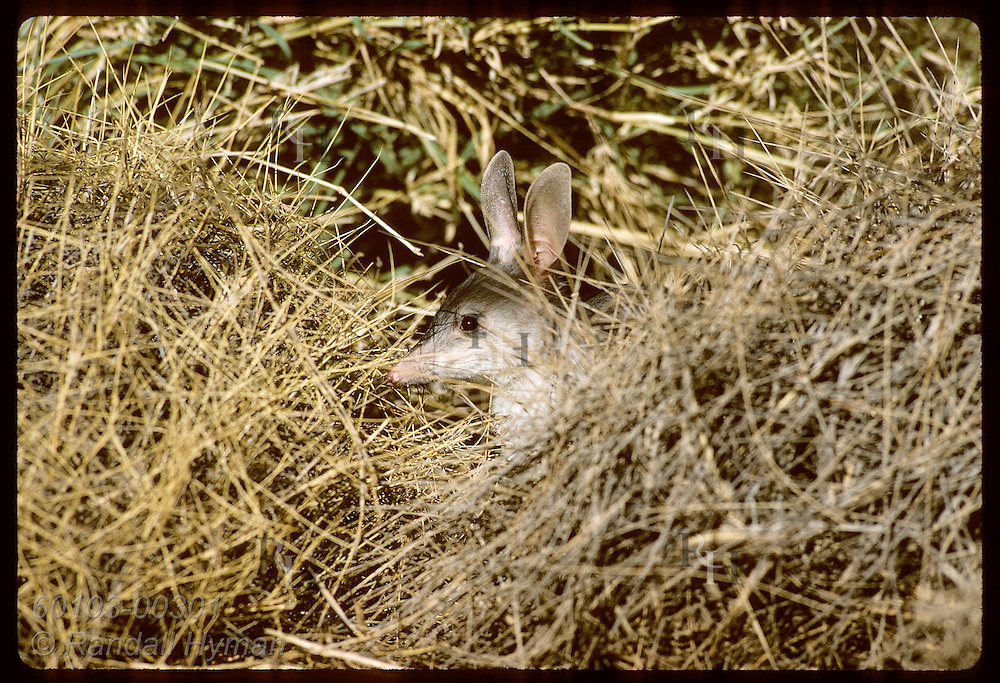 Rabbit-eared bandicoot, or bilby, sits in spinifex grass in pen; Conserv Commssn of NT, Alice Spr Australia