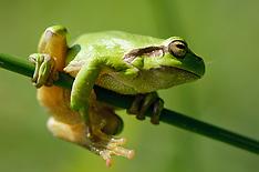 Amfibieën,  Amphibian, Amphibia