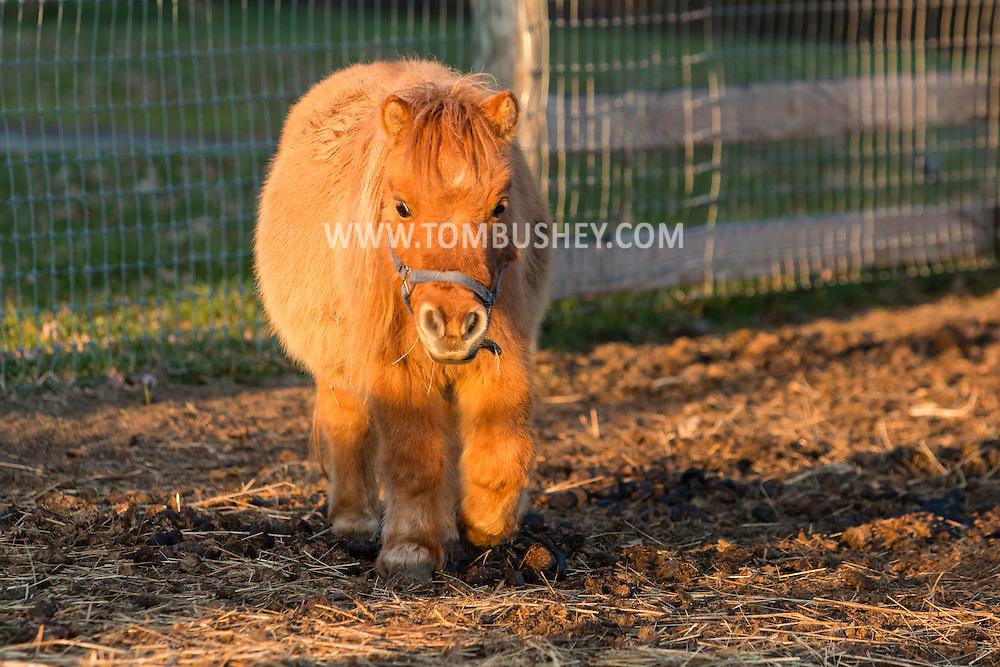 Goshen, New York - Farm animals at Brookfields Farm on  Nov. 29, 2015.