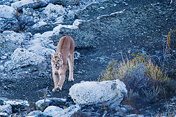 A female puma (Puma con color) also known as a mountain lion or cougar, yawning and stretching, Torres del Paine, Chile, South America