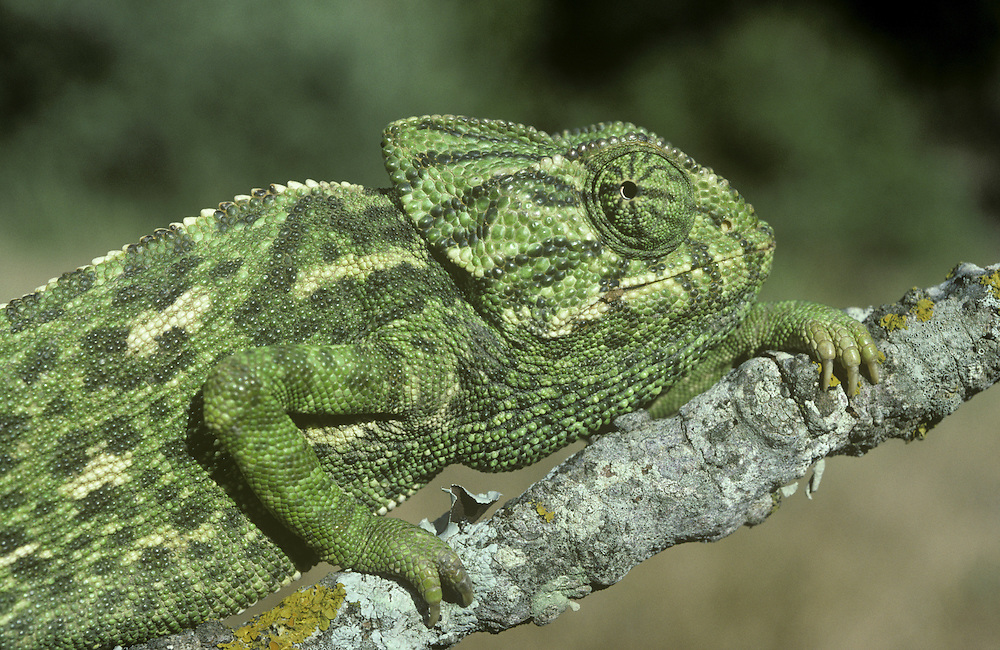 European Chameleon Chamelo chameleon Length to 25cm Unusual, well camouflaged lizard. Eyes are relatively large and move independently of one another. Hands and feet are adapted for gripping and tail is prehensile. Catches insects with its long, extendable tongue. Widespread but local across Mediterranean region.