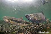 chum salmon, dog salmon, silverbrite salmon, or keta salmon, Oncorhynchus keta, in spawning stream, mature male in center, Bear Trap, Port Gravina, Alaska ( Prince William Sound )