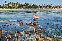 Tanzanie, archipel de Zanzibar, île de Unguja (Zanzibar), plage de Jambiani, culture des algues  // Tanzania, Zanzibar island, Unguja, Jambiani beach, seaweed harvesting at one of the underwater farms, Jambiani