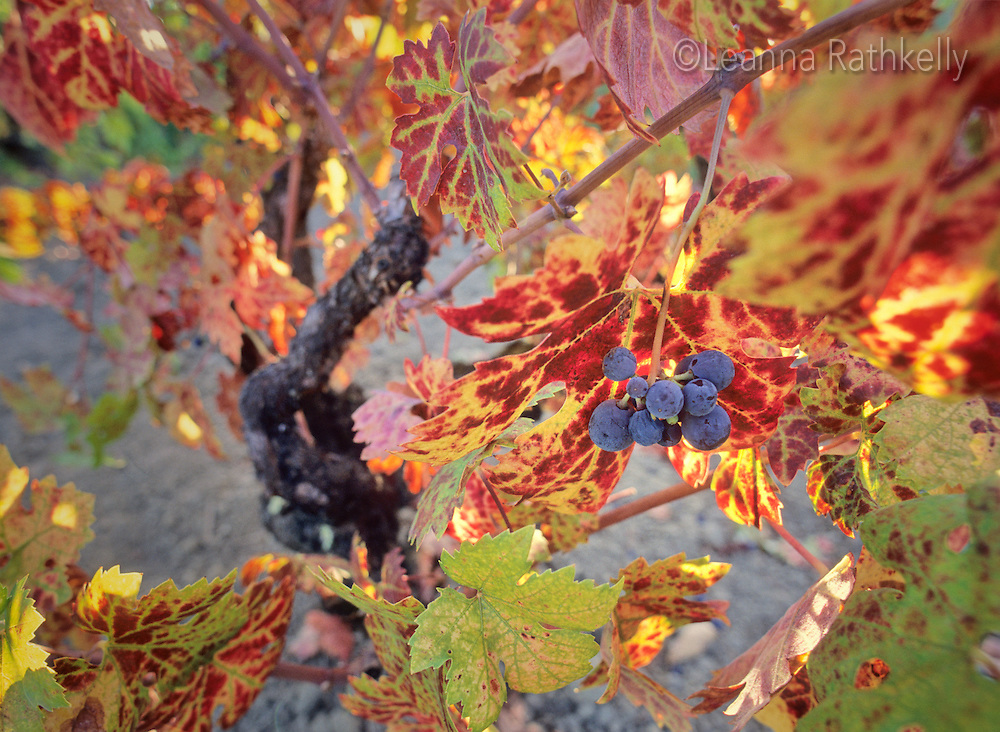 Grapes on the vine, Napa Valley, California.