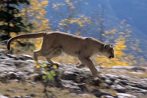 Mountain Lion or Cougar, (Felis concolor) Adult  running. Fall. Colorado. Captive Animal.