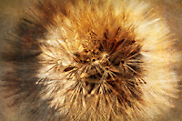 A surreal abstract of a dandelion.