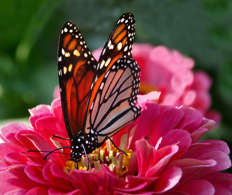 A monarch butterfly on a flower at the lily pond.