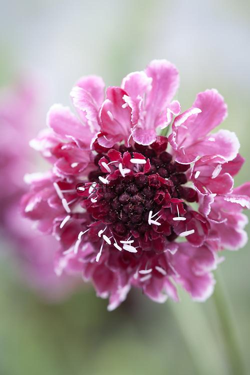 Scabiosa atropurpurea 'Beaujolais Bonnets' - sweet scabious