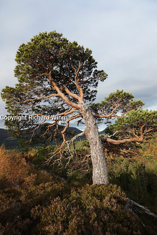 An old bent over Caledonian Pine, in the late afternoon sun, showing the effects of the storng winds that sometimes blow through the Cairngorm Mountains.