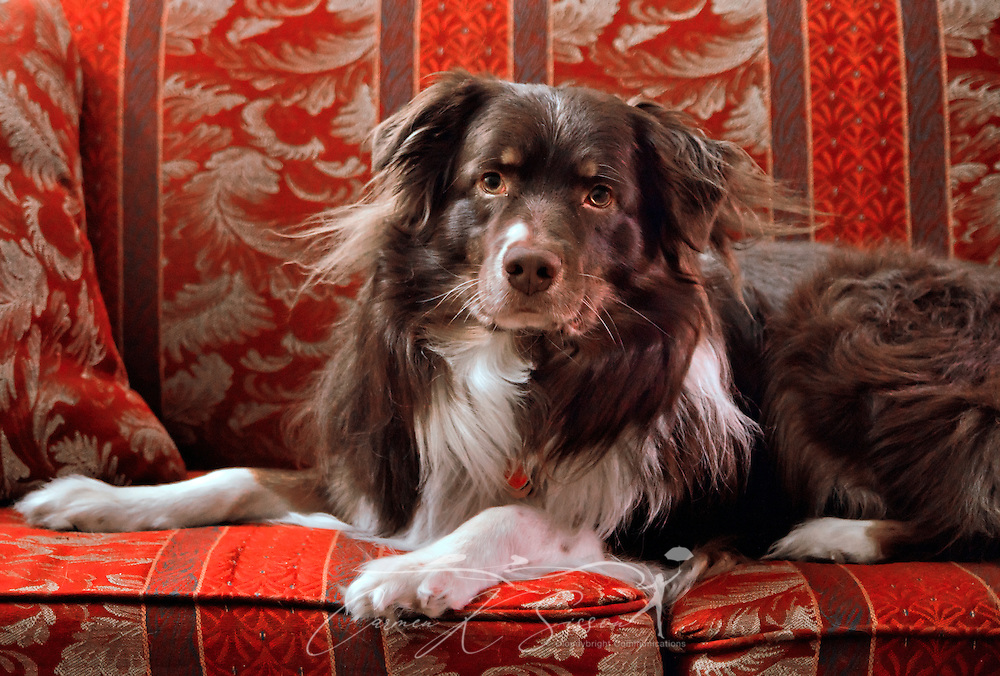 Cowboy, a five-year-old Australian Shepherd dog, is photographed on a couch in Columbus, Mississippi, Feb. 1, 2012. (Photo by Carmen K. Sisson/Cloudybright)