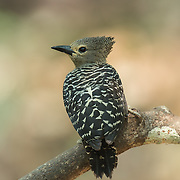 The buff-rumped woodpecker (Meiglyptes grammithorax) is a species of bird in the Picidae family. It is found in Thailand, Malaya and Borneo. Its natural habitats are subtropical or tropical dry forests and subtropical or tropical moist lowland forests.