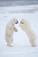 01874-11904 Polar Bears (Ursus maritimus) sparring / fighting in snow, Churchill Wildlife Management Area, Churchill, MB Canada