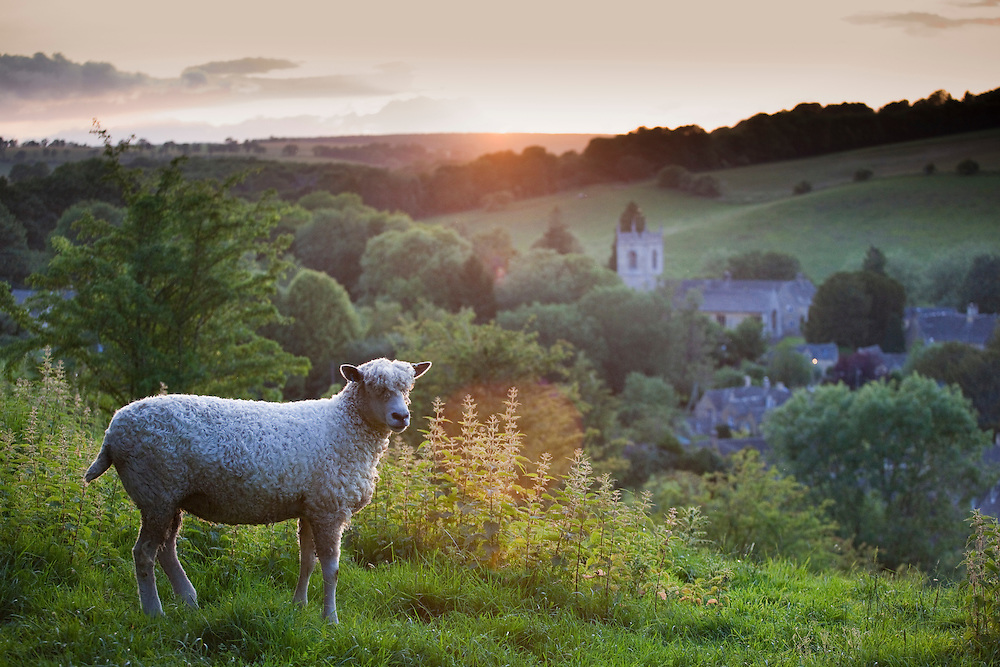 Cotswolds Lion sheep and the village of Naunton at sunset, Gloucestershire, UK
