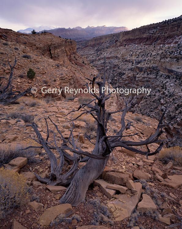 Juniper, Juniper Tree, Tree, dead tree, dead juniper tree, dead juniper, Desert Canyon, Desert, Canyon, Sandstone, Rock, Red, Cliffs, Winter, Sunrise, Sunset, Dusk, Capitol Reef, Capitol Reef National Park, Utah