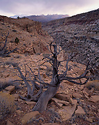 Juniper, Juniper Tree, Tree, dead tree, dead juniper tree, dead juniper, Desert Canyon, Desert, Canyon, Sandstone, Rock, Red, Cliffs, Winter, Sunrise, Sunset, Dusk, Capitol Reef, Capitol Reef National Park, Utah