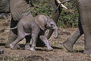Baby elephant perhaps a few days old, Masai Mara Reserve, Kenya