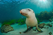 Rare and endangered Australian Sea Lion (Neophoca cinerea) swims and plays in the shallows of Hopkins Island, South Australia. Image available as a premium quality aluminum print ready to hang.