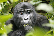 Gorilla treking in the mountains of Bwindi forest Impenetrable national park. Uganda. Africa.