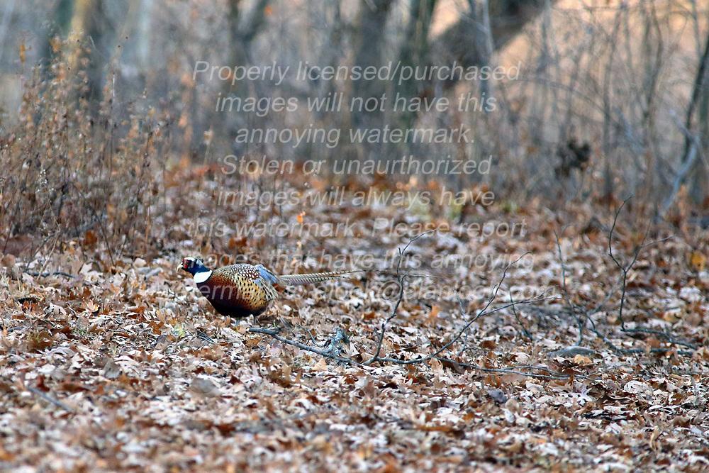 20171205 - Moraine View State Park near Ellsworth Illinois -  Ring-Necked Pheasant.