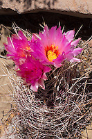 Glory of Texas Cactus, Thelocactus bicolor, Old Ore Road, Big Bend National Park, Texas
