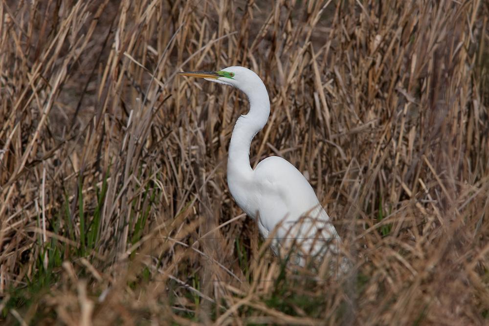 A great egret stands near a small pond near Lake Nokomis
