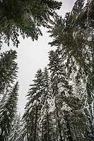 Looking up through the forest trees at falling snow and cloudy skies.