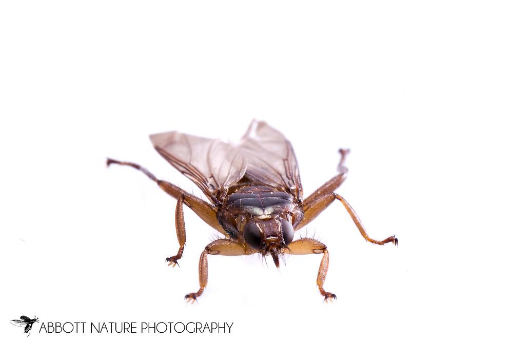 Louse Fly (Icosta americana) found on Cooper's Hawk (Accipiter cooperii)<br /> KENTUCKY: Jessamine Co.<br /> Lexington<br /> 14-Dec-2014<br /> J.C. Abbott &amp; K.K. Abbott