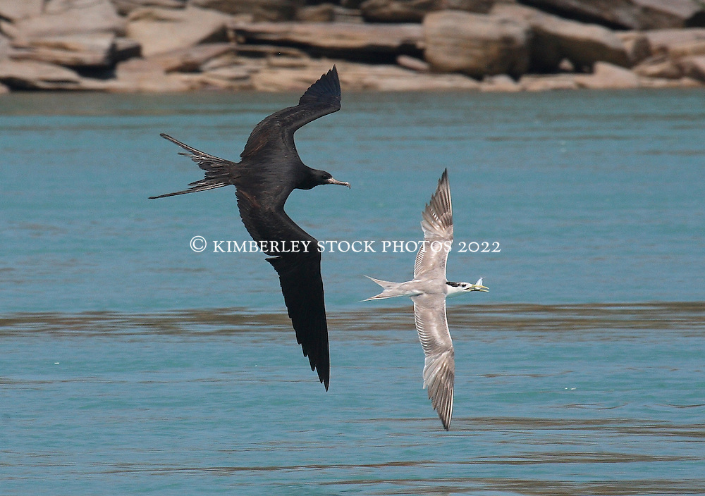 A frigate bird in hot pursuit of a tern with a freshly caught fish at Augustus Island, on the Kimberley's largest islands at the northern extent of Camden Sound.