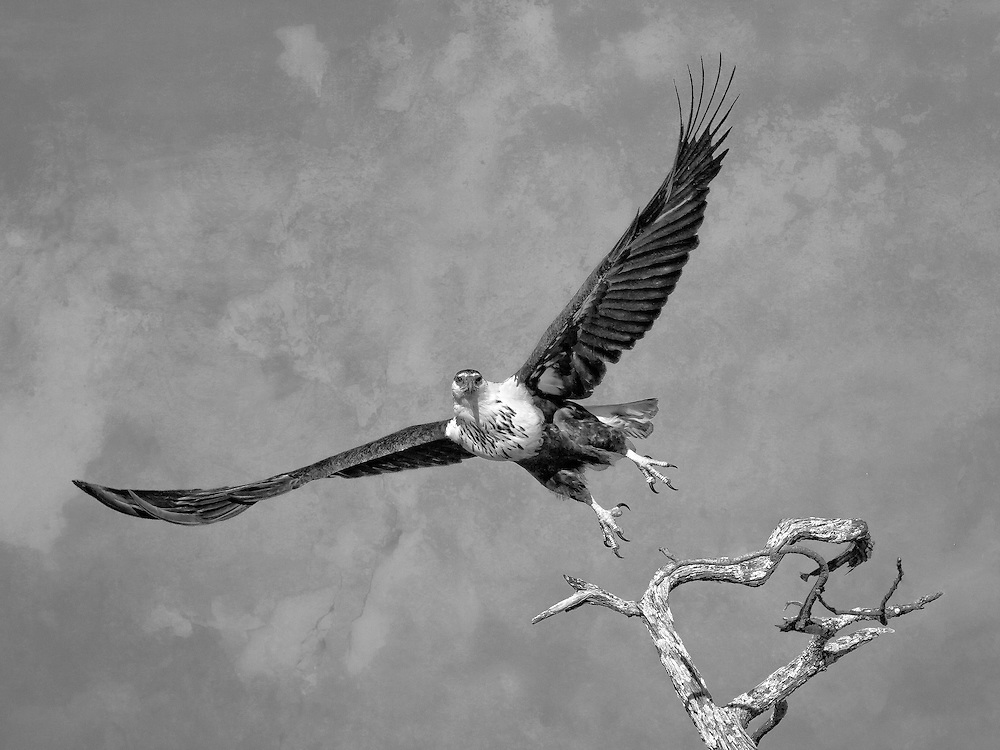 Black and whte conversion of a juvenile african fish eagle taking flight in Mana Pools, Zimbabwe