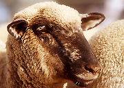 NOV 18, 2001, GILBERT, AZ, USA: A sheep at the Gilbert Days Rodeo in Gilbert, AZ, Sunday, Nov. 21, 2001. PHOTO BY JACK KURTZ