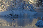 American dipper on a pond along the Yaak River at sunrise with the temperature at -15f in early winter. Yaak Valley in the Purcell Mountains, northwest Montana.