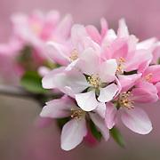 Japanese Crabapple Blossoms (Malus floribunda)
