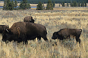 Bison, Yellowstone National Park, Yellowstone, Tetons, Grand Teton, National Park,Wyoming